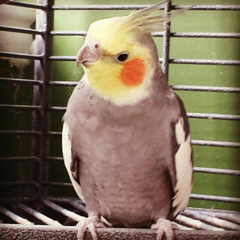 COCKATIEL PICTURE