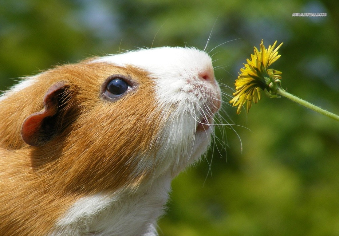 guinea-pig_background-wallpaper